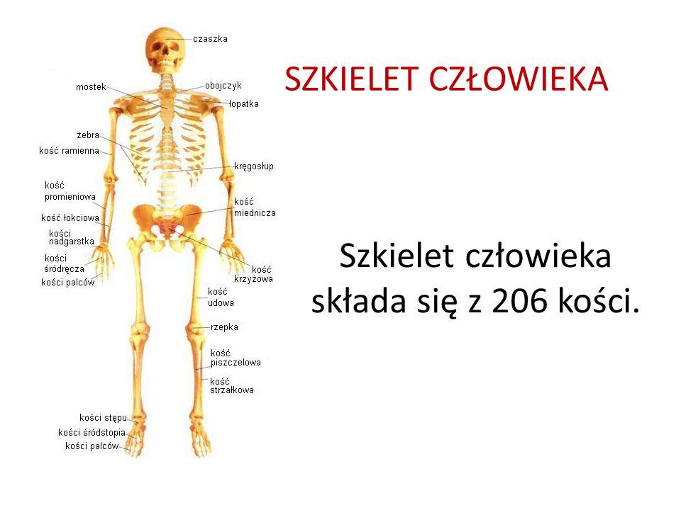 SZKIELET CZŁOWIEKA Szkielet człowieka składa się z 206 kości.