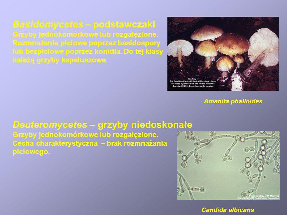 Basidomycetes – podstawczaki