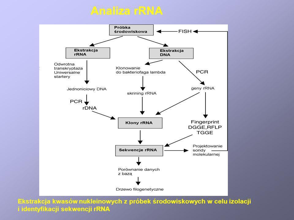 Analiza rRNAEkstrakcja kwasów nukleinowych z próbek środowiskowych w celu izolacji.