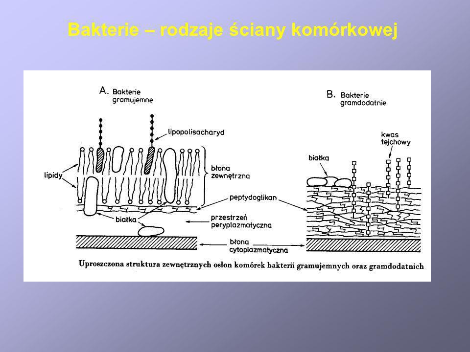 Bakterie – rodzaje ściany komórkowej