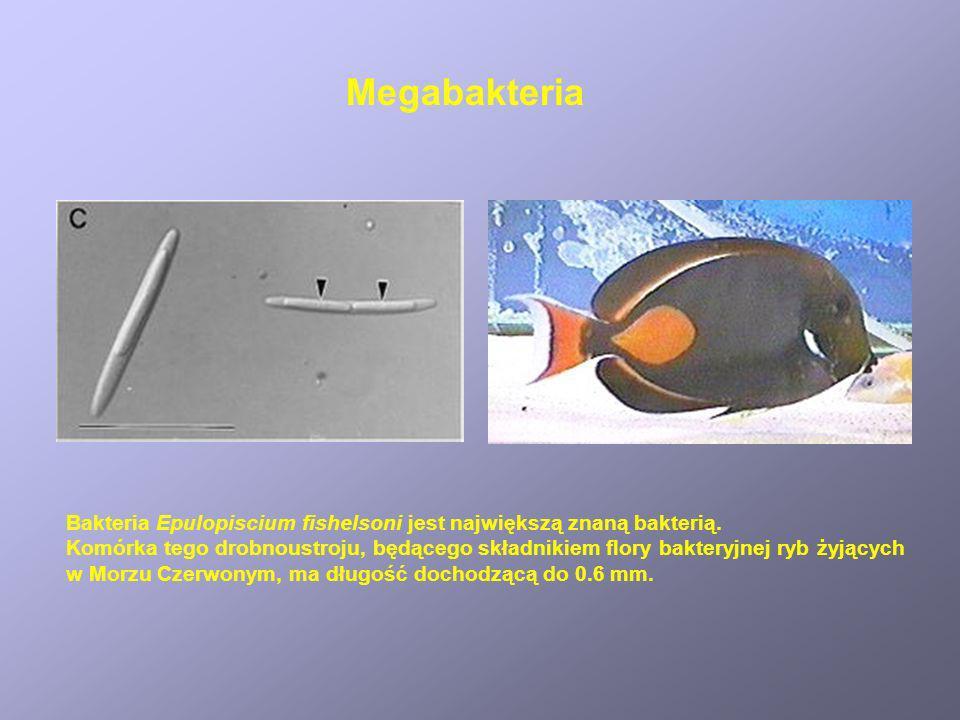 MegabakteriaBakteria Epulopiscium fishelsoni jest największą znaną bakterią.