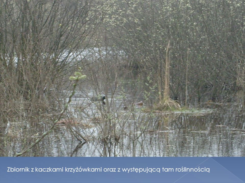 Zbiornik z kaczkami krzyżówkami oraz z występującą tam roślinnością