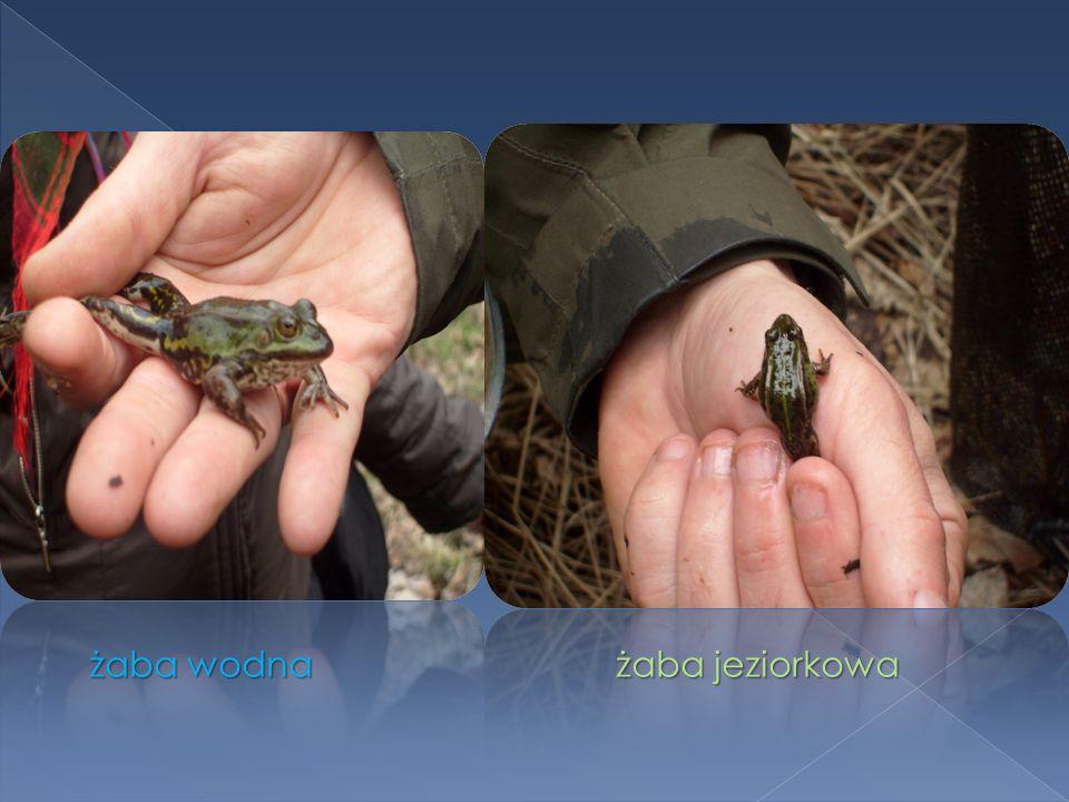 żaba wodna żaba jeziorkowa