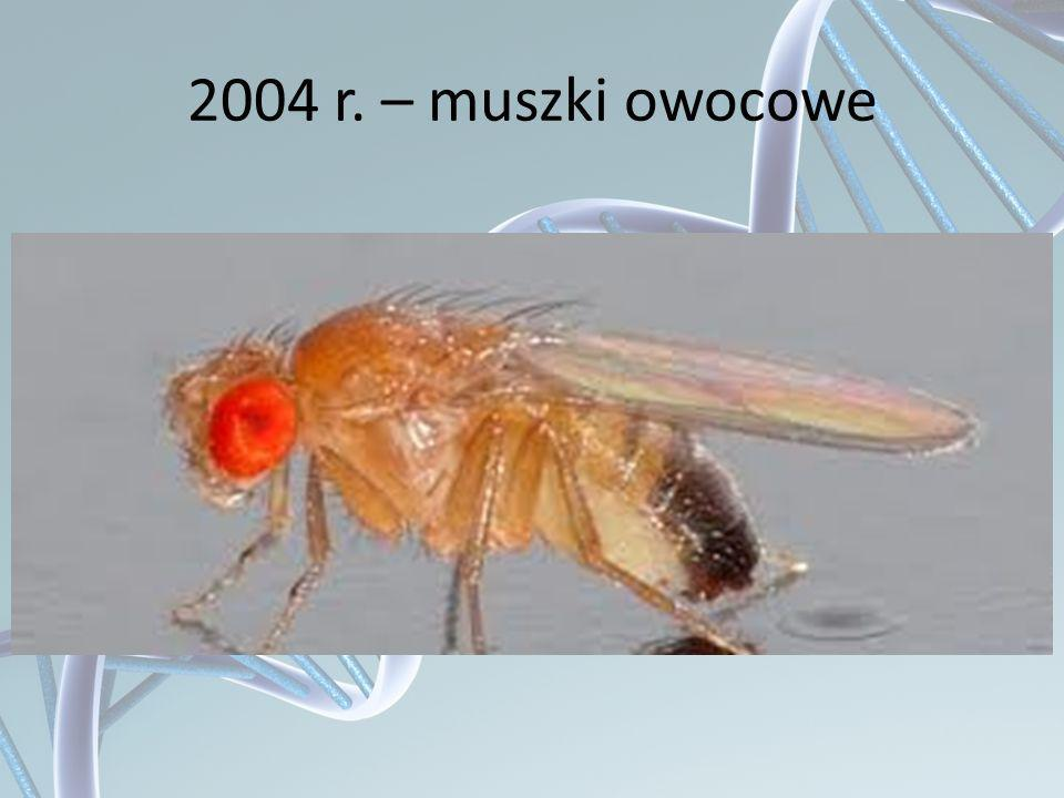 2004 r. – muszki owocowe