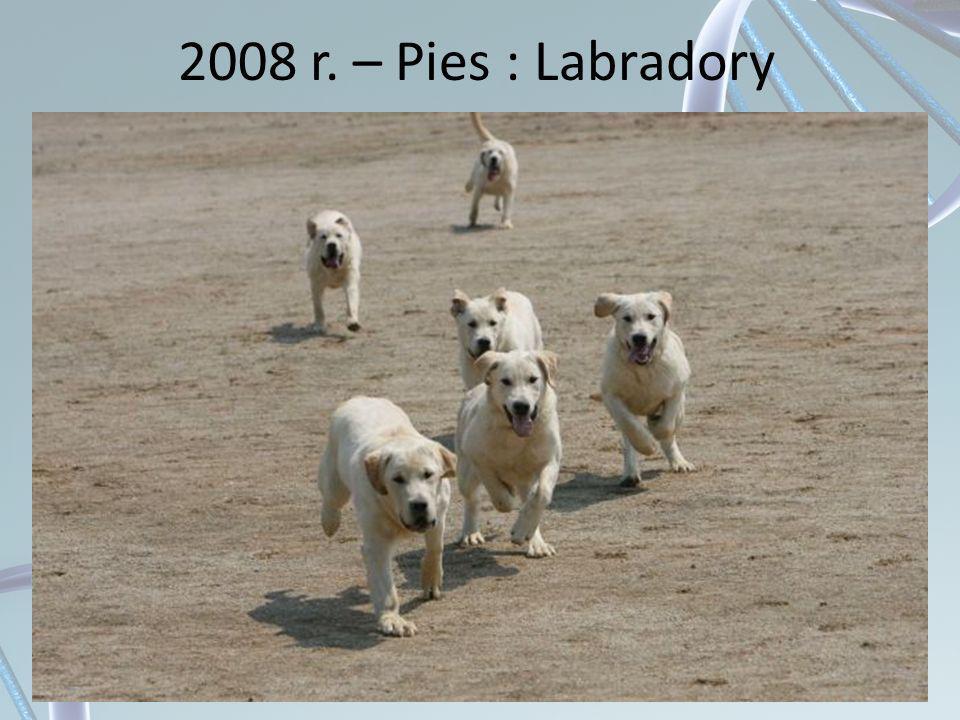 2008 r. – Pies : Labradory