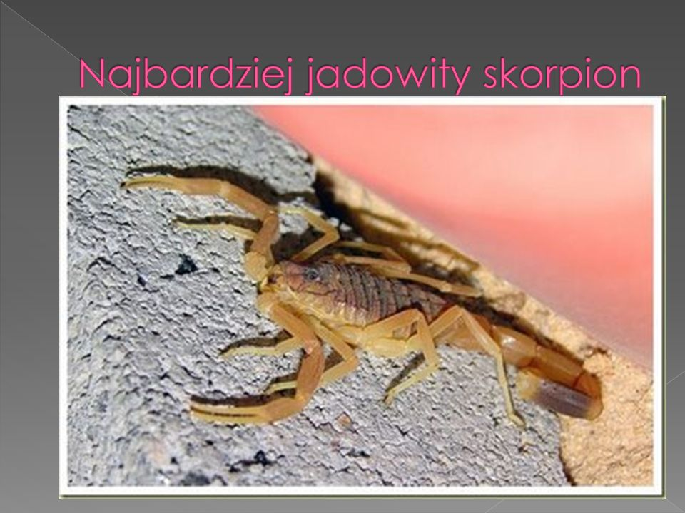 Najbardziej jadowity skorpion