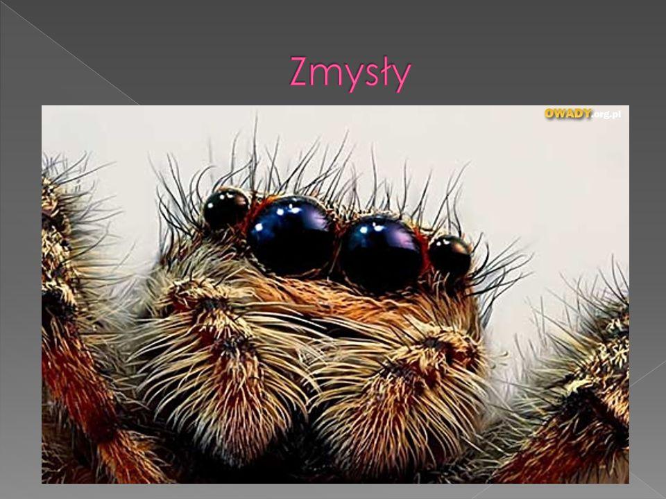 Zmysły Dotyk jest to podstawowy zmysł pająka. Włoski są odpowiedzialne za wyczuwanie drgań sieci,