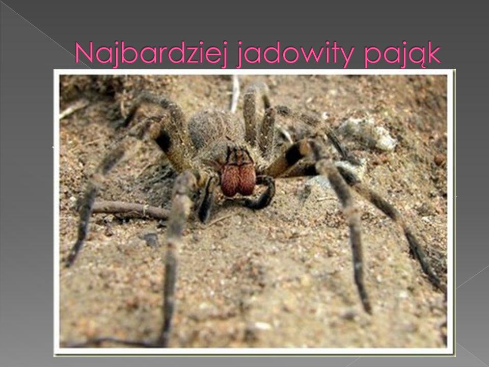 Najbardziej jadowity pająk