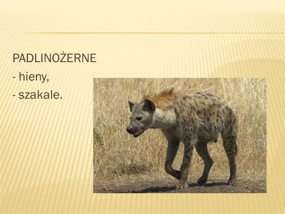 PADLINOŻERNE - hieny, - szakale.