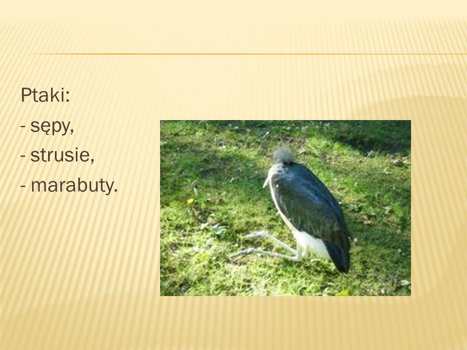 Ptaki: - sępy, - strusie, - marabuty.