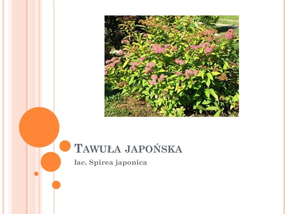 Tawuła japońska łac. Spirea japonica