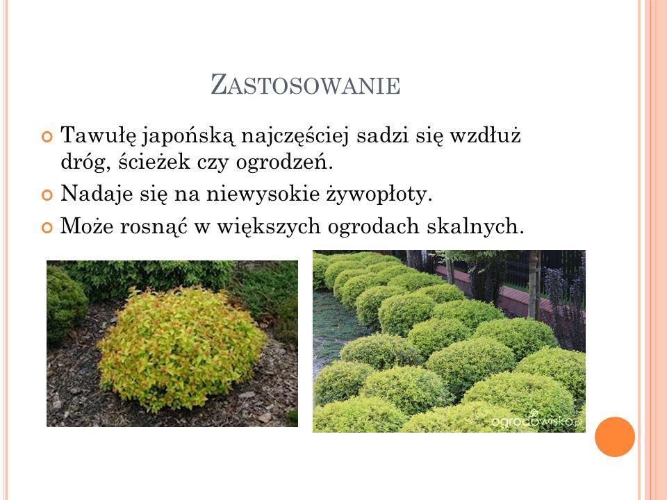Zastosowanie Tawułę japońską najczęściej sadzi się wzdłuż dróg, ścieżek czy ogrodzeń. Nadaje się na niewysokie żywopłoty.
