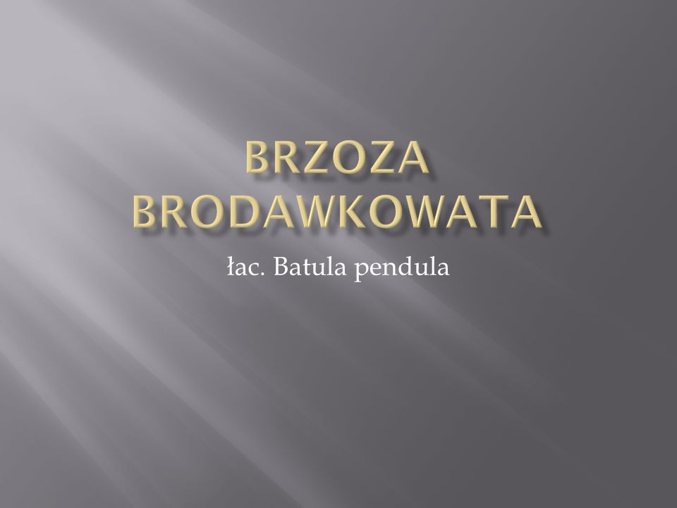 Brzoza brodawkowata łac. Batula pendula