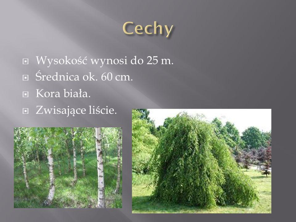 Cechy Wysokość wynosi do 25 m. Średnica ok. 60 cm. Kora biała.