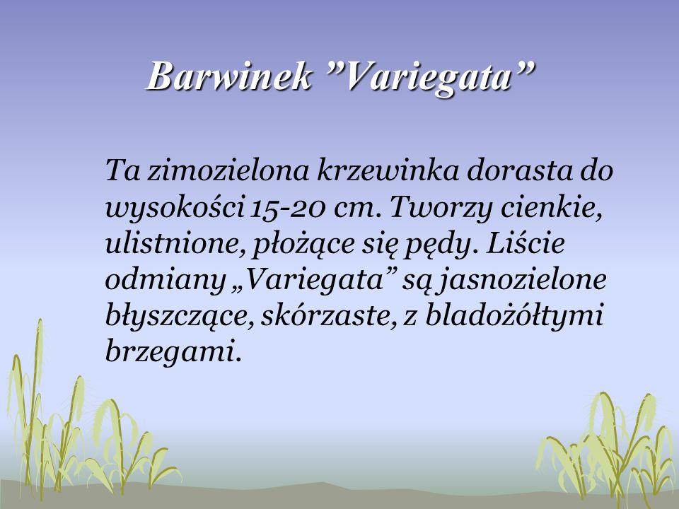 Barwinek Variegata
