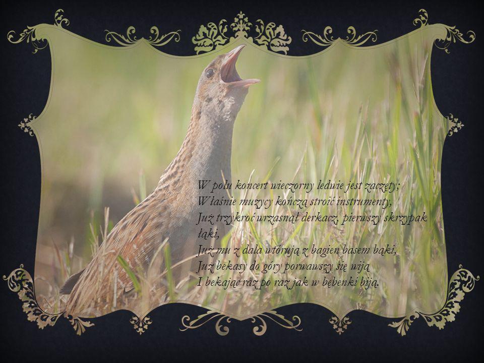 W polu koncert wieczorny ledwie jest zaczęty; Właśnie muzycy kończą stroić instrumenty, Już trzykroć wrzasnął derkacz, pierwszy skrzypak łąki, Już mu z dala wtórują z bagien basem bąki, Już bekasy do góry porwawszy się wiją I bekając raz po raz jak w bębenki biją.