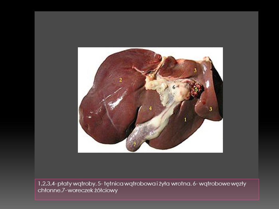 1,2,3,4- płaty wątroby. 5- tętnica wątrobowa i żyła wrotna
