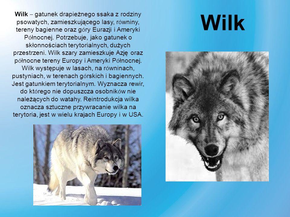 Wilk – gatunek drapieżnego ssaka z rodziny psowatych, zamieszkującego lasy, równiny, tereny bagienne oraz góry Eurazji i Ameryki Północnej. Potrzebuje, jako gatunek o skłonnościach terytorialnych, dużych przestrzeni. Wilk szary zamieszkuje Azję oraz północne tereny Europy i Ameryki Północnej. Wilk występuje w lasach, na równinach, pustyniach, w terenach górskich i bagiennych. Jest gatunkiem terytorialnym. Wyznacza rewir, do którego nie dopuszcza osobników nie należących do watahy. Reintrodukcja wilka oznacza sztuczne przywracanie wilka na terytoria, jest w wielu krajach Europy i w USA.