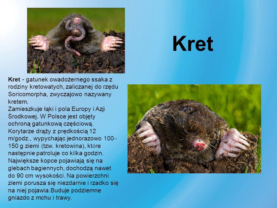 Kret Kret - gatunek owadożernego ssaka z rodziny kretowatych, zaliczanej do rzędu Soricomorpha, zwyczajowo nazywany kretem.