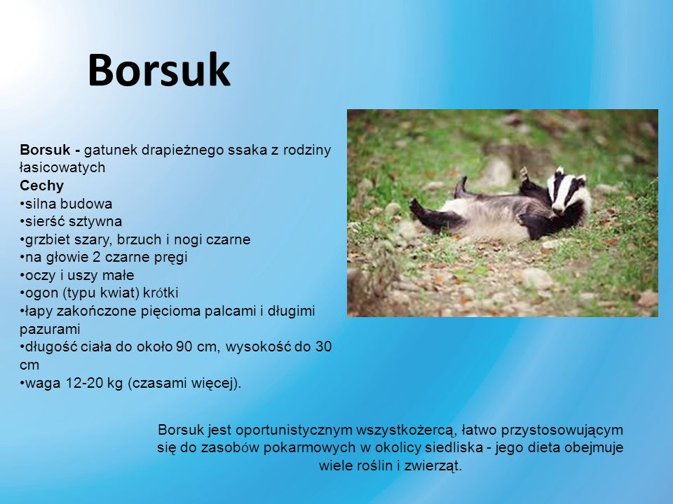 Borsuk Borsuk - gatunek drapieżnego ssaka z rodziny łasicowatych Cechy