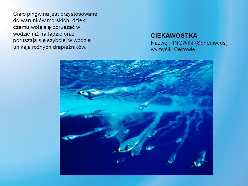 Ciało pingwina jest przystosowane do warunków morskich, dzięki czemu wolą się poruszać w wodzie niż na lądzie oraz poruszają się szybciej w wodzie i unikają rożnych drapieżników.