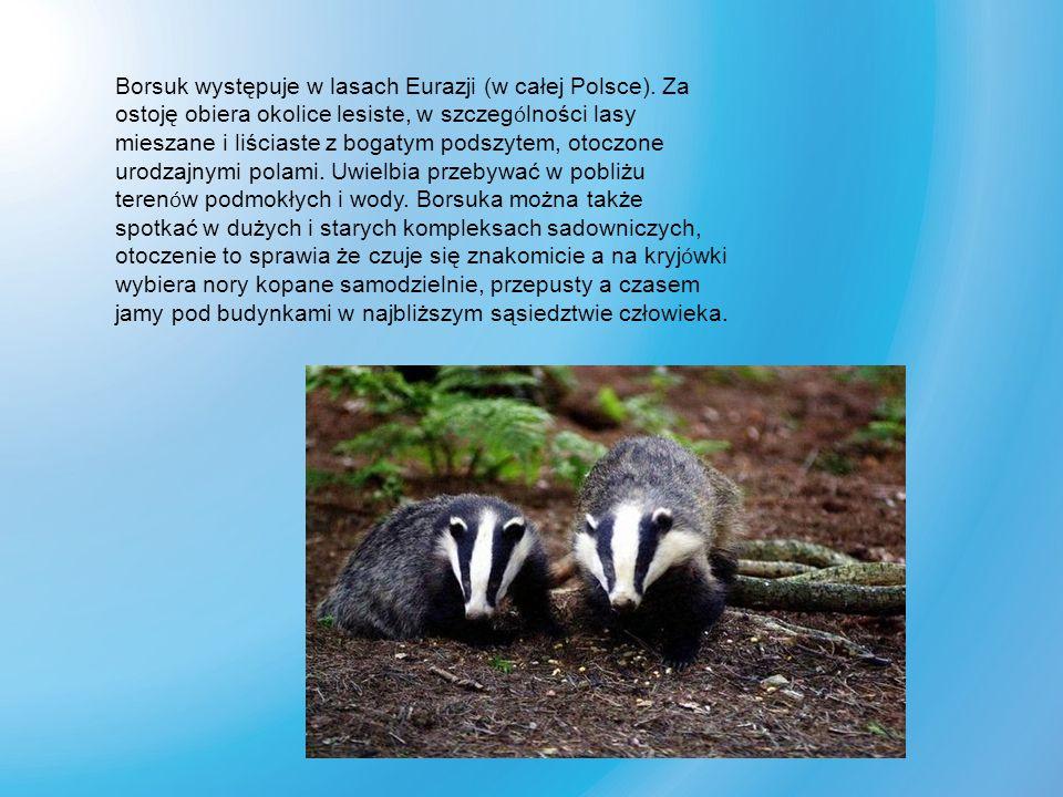 Borsuk występuje w lasach Eurazji (w całej Polsce)