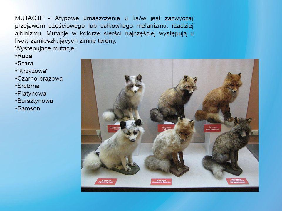 MUTACJE - Atypowe umaszczenie u lisów jest zazwyczaj przejawem częściowego lub całkowitego melanizmu, rzadziej albinizmu. Mutacje w kolorze sierści najczęściej występują u lisów zamieszkujących zimne tereny.