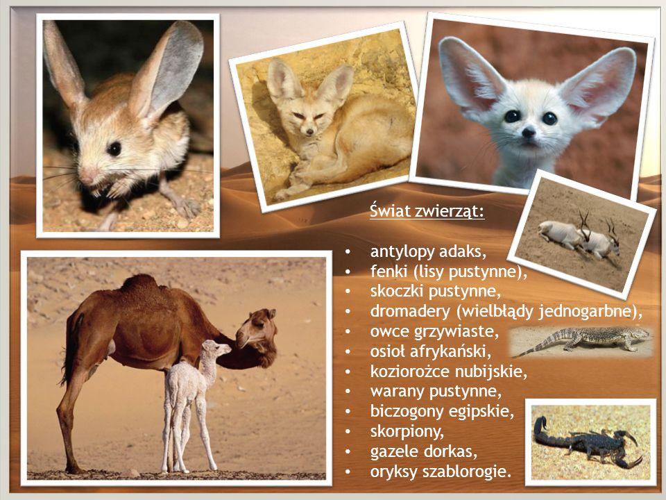 Świat zwierząt:antylopy adaks, fenki (lisy pustynne), skoczki pustynne, dromadery (wielbłądy jednogarbne),