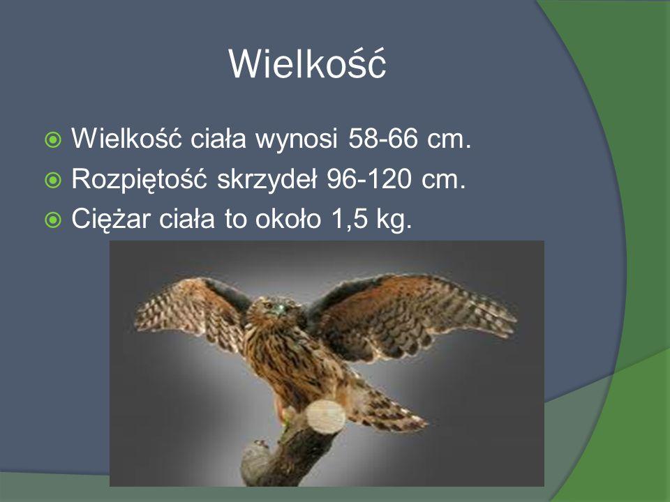 Wielkość Wielkość ciała wynosi 58-66 cm.