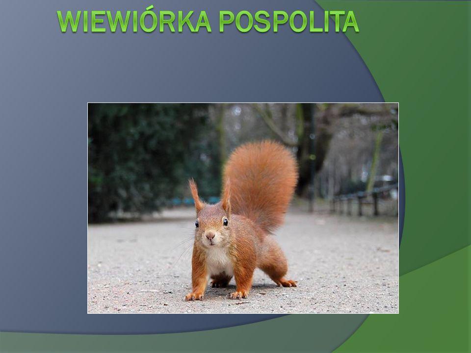 Wiewiórka pospolita Sciurus vulgaris