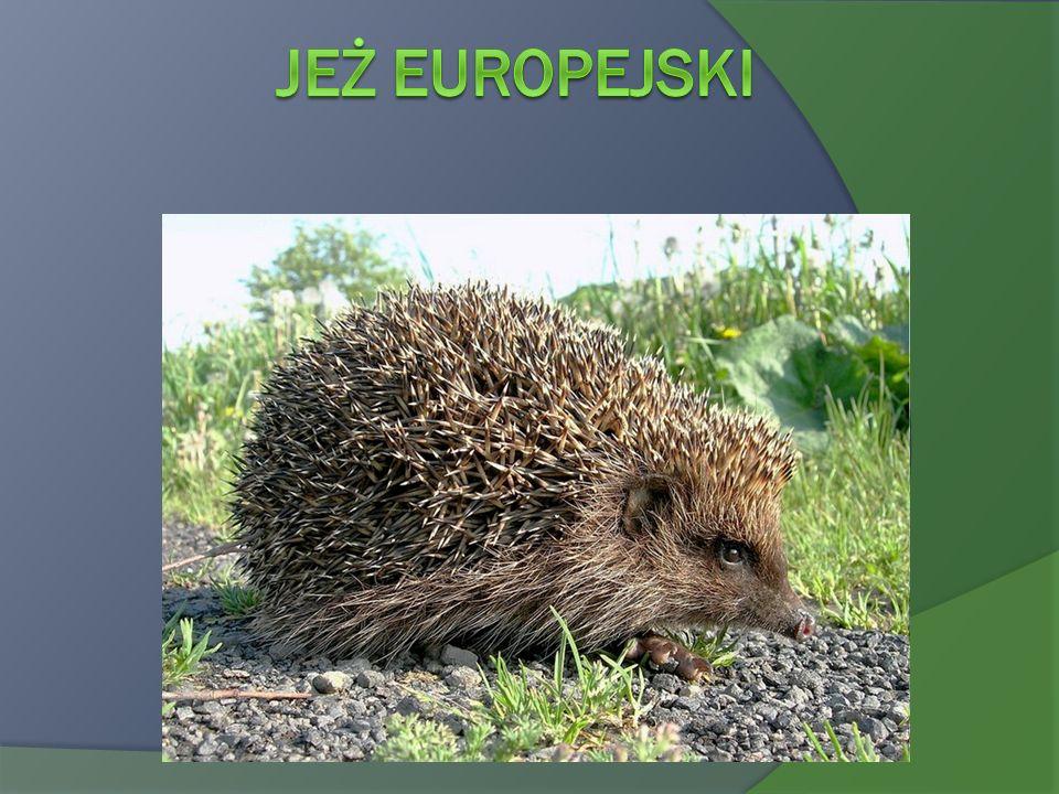 Jeż europejski Erinaceus europaeus