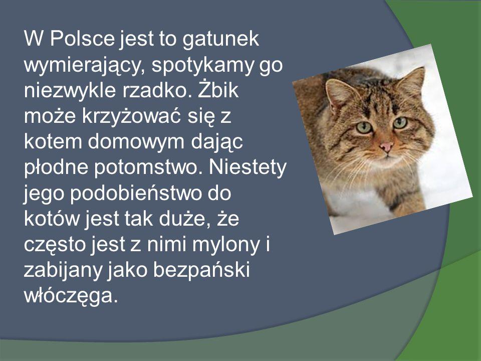 W Polsce jest to gatunek wymierający, spotykamy go niezwykle rzadko