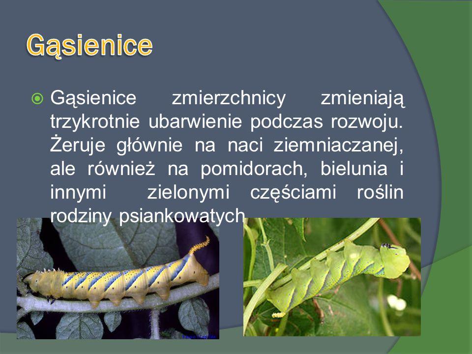 Gąsienice