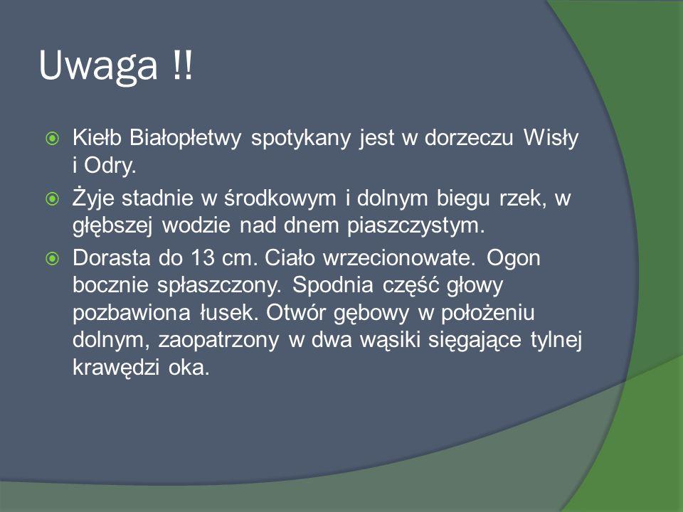 Uwaga !! Kiełb Białopłetwy spotykany jest w dorzeczu Wisły i Odry.