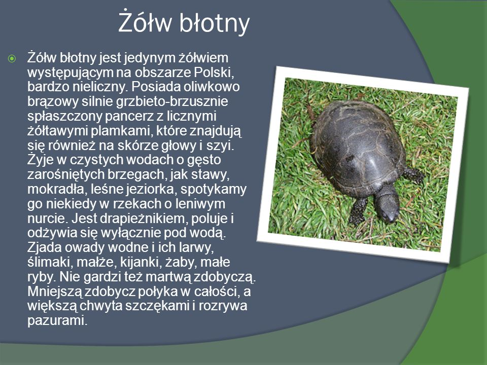 Żółw błotny
