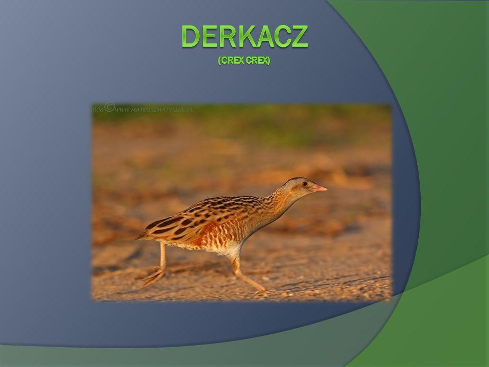 Derkacz (Crex crex)