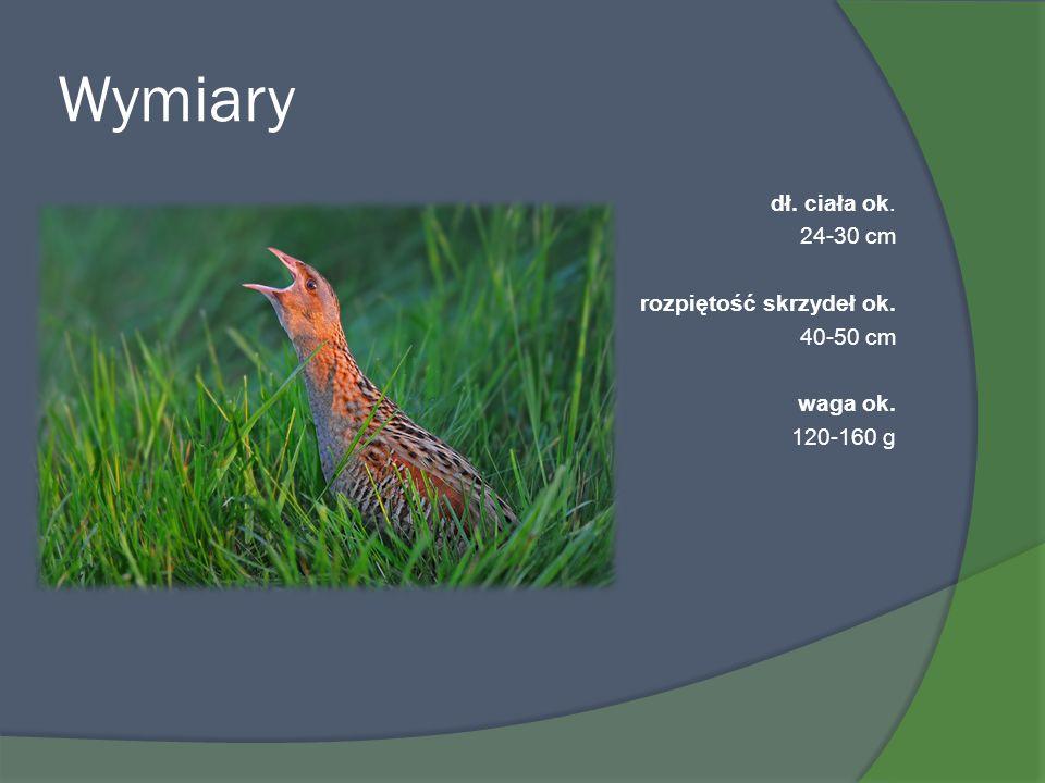 Wymiary dł. ciała ok. 24-30 cm rozpiętość skrzydeł ok. 40-50 cm waga ok. 120-160 g