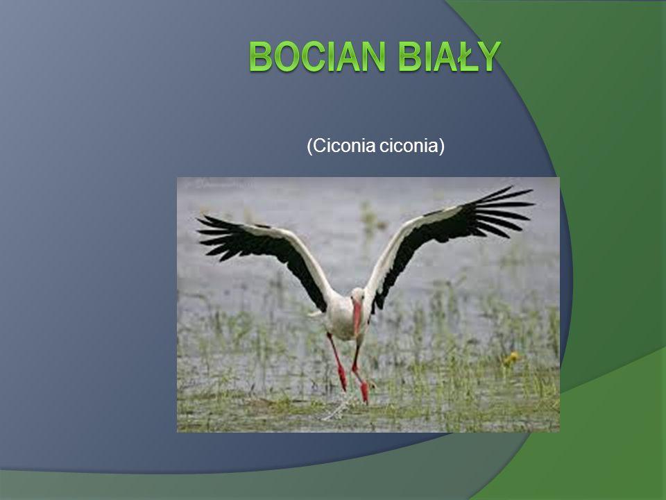 Bocian Biały (Ciconia ciconia)