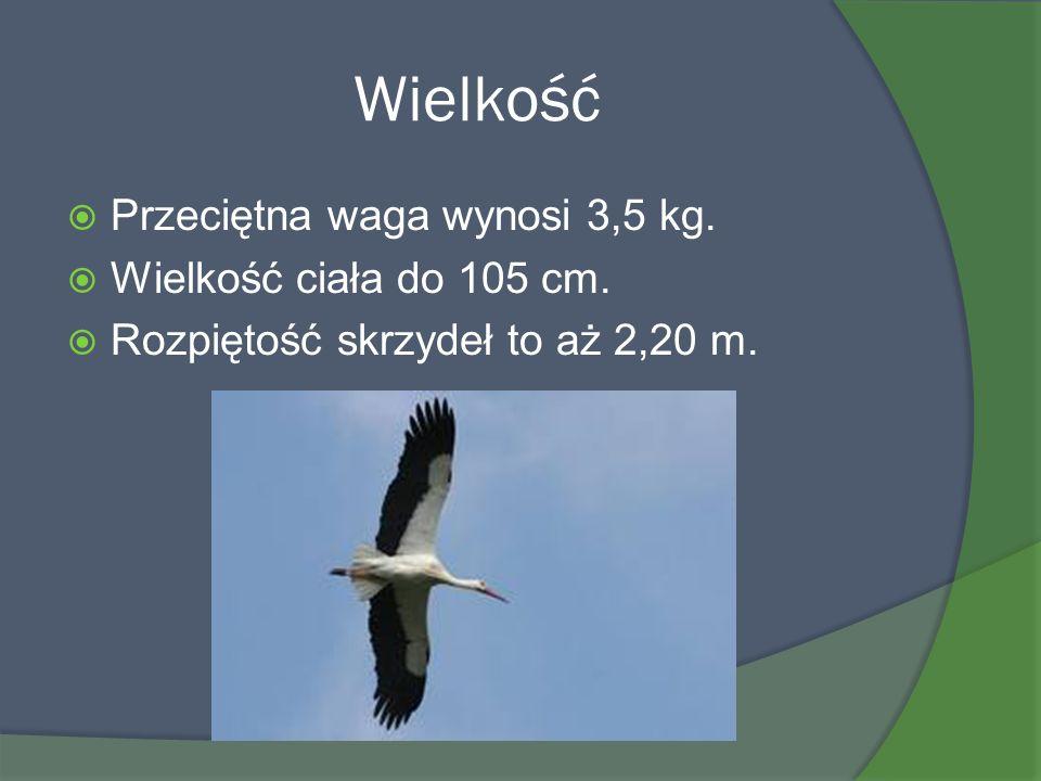 Wielkość Przeciętna waga wynosi 3,5 kg. Wielkość ciała do 105 cm.