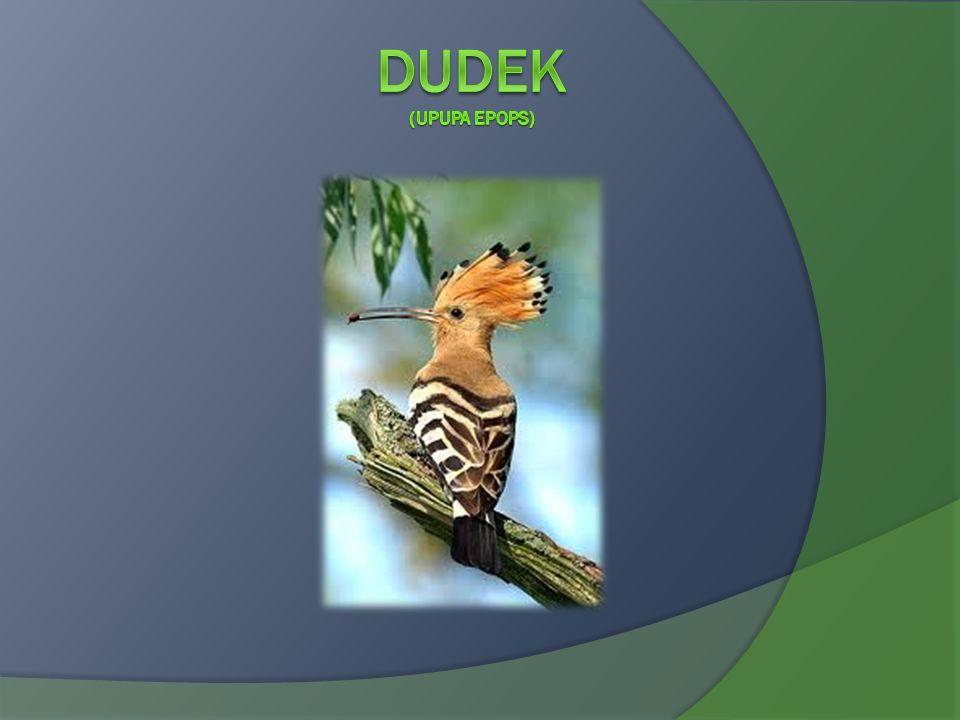 Dudek (Upupa epops)