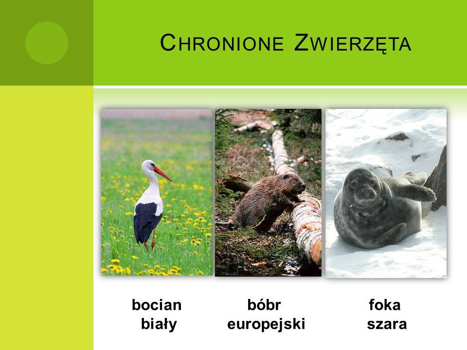 Chronione Zwierzęta bocian biały bóbr europejski foka szara