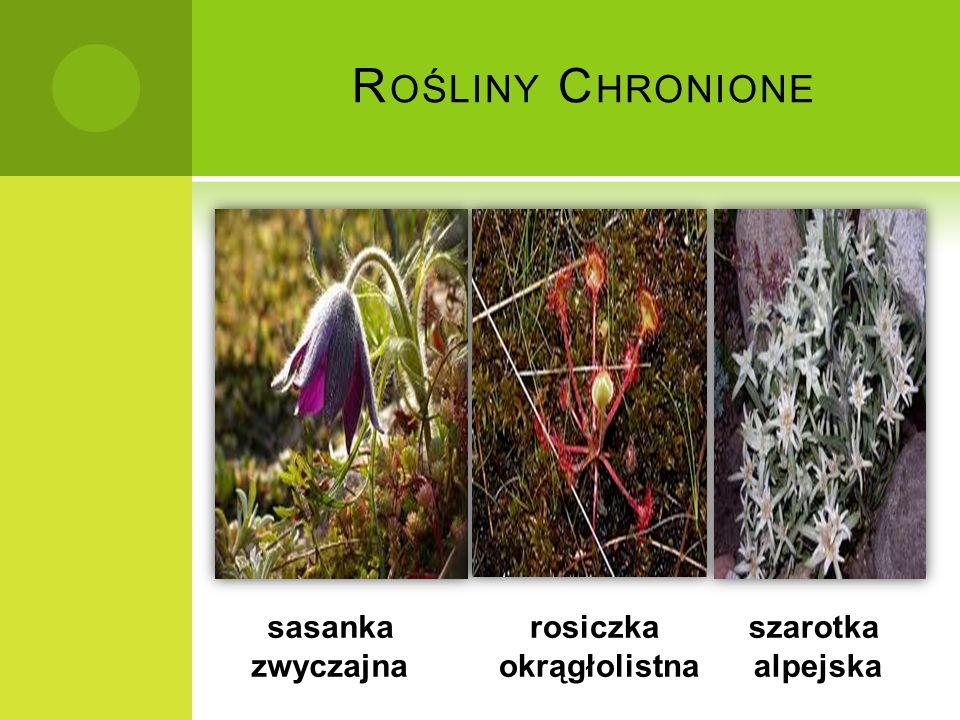 Rośliny Chronione sasanka zwyczajna rosiczka okrągłolistna szarotka