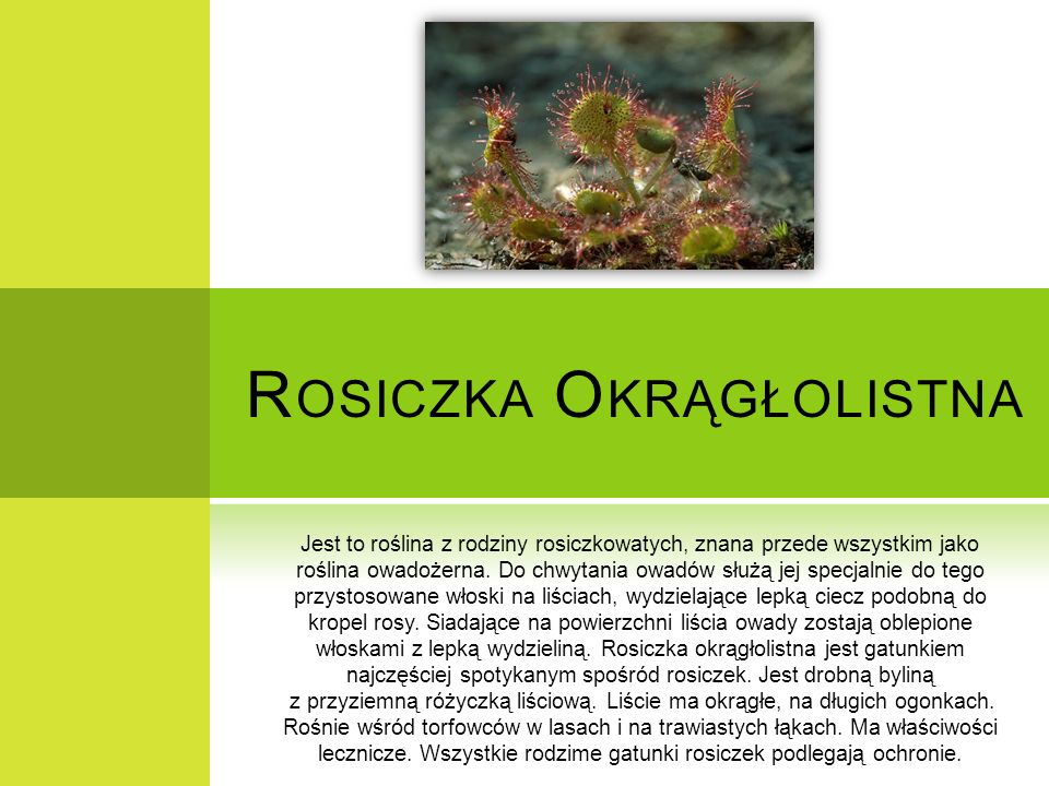 Rosiczka Okrągłolistna