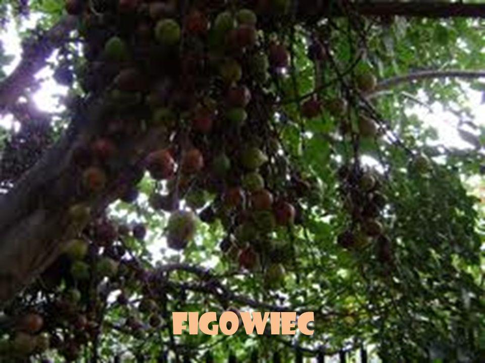 Figowiec