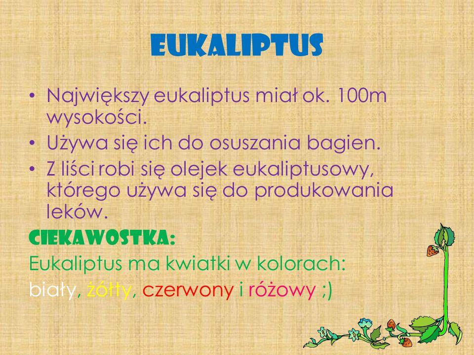 Eukaliptus Największy eukaliptus miał ok. 100m wysokości.