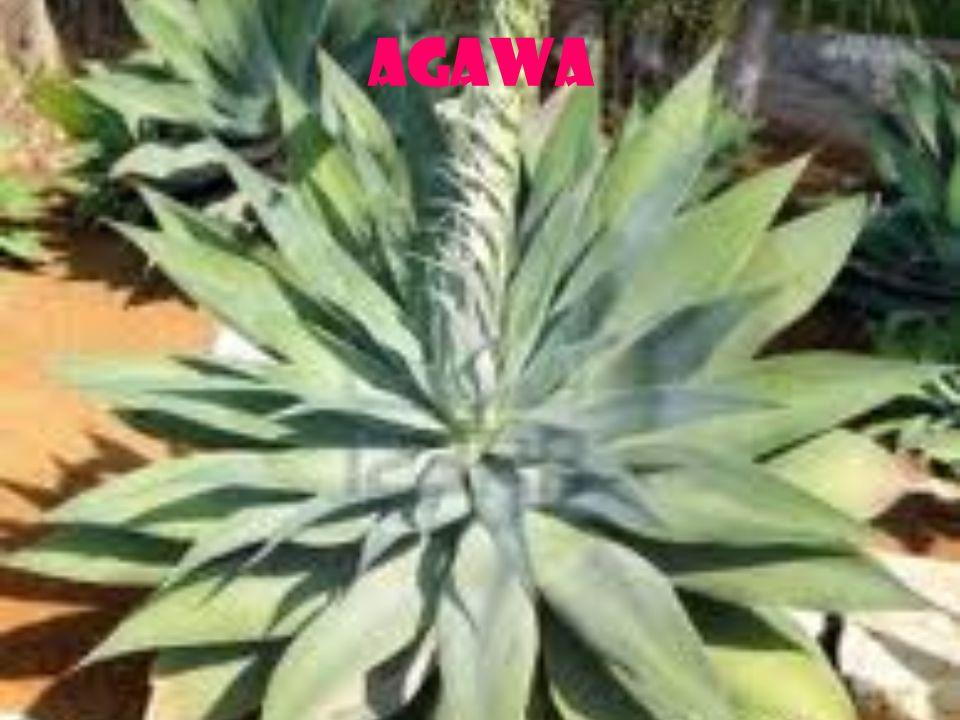 Agawa