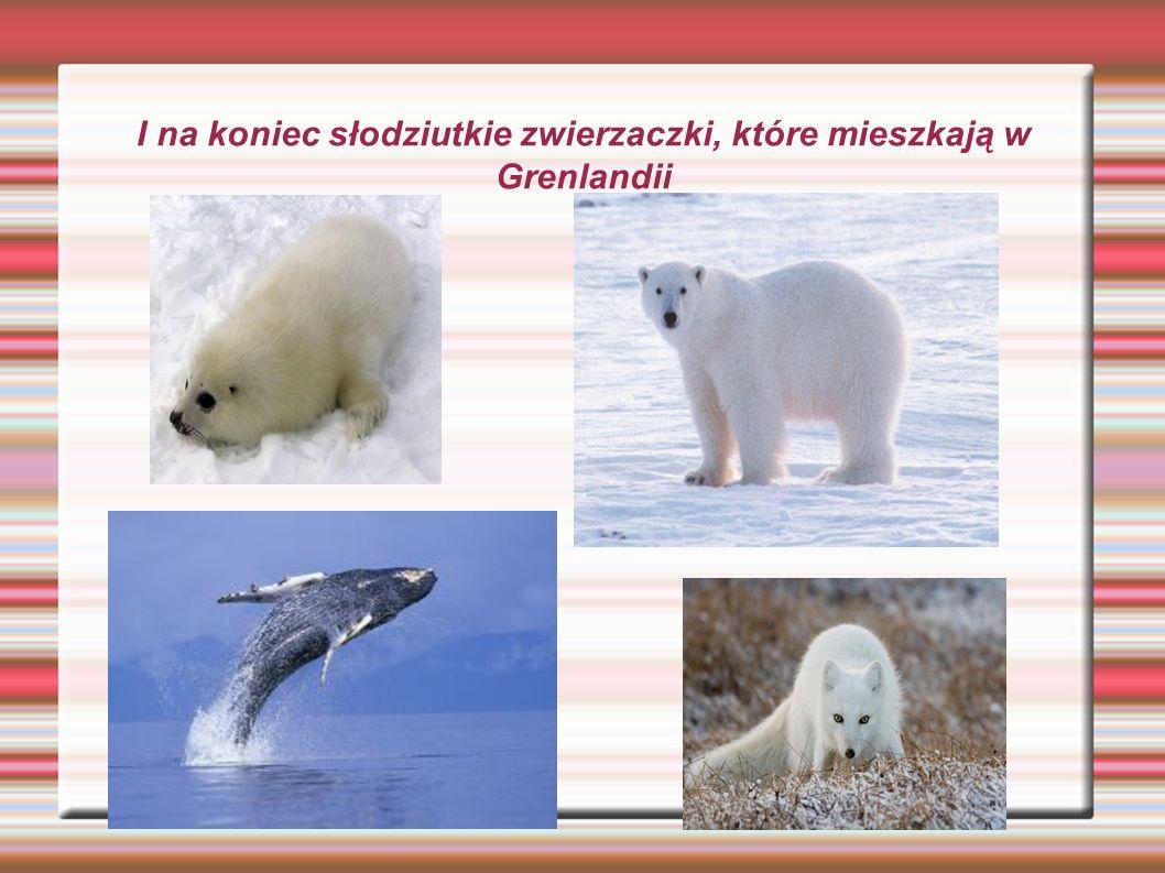 I na koniec słodziutkie zwierzaczki, które mieszkają w Grenlandii