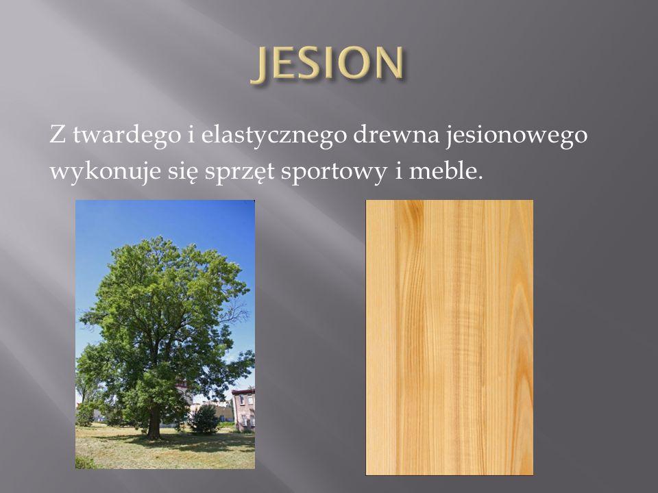 JESION Z twardego i elastycznego drewna jesionowego wykonuje się sprzęt sportowy i meble.
