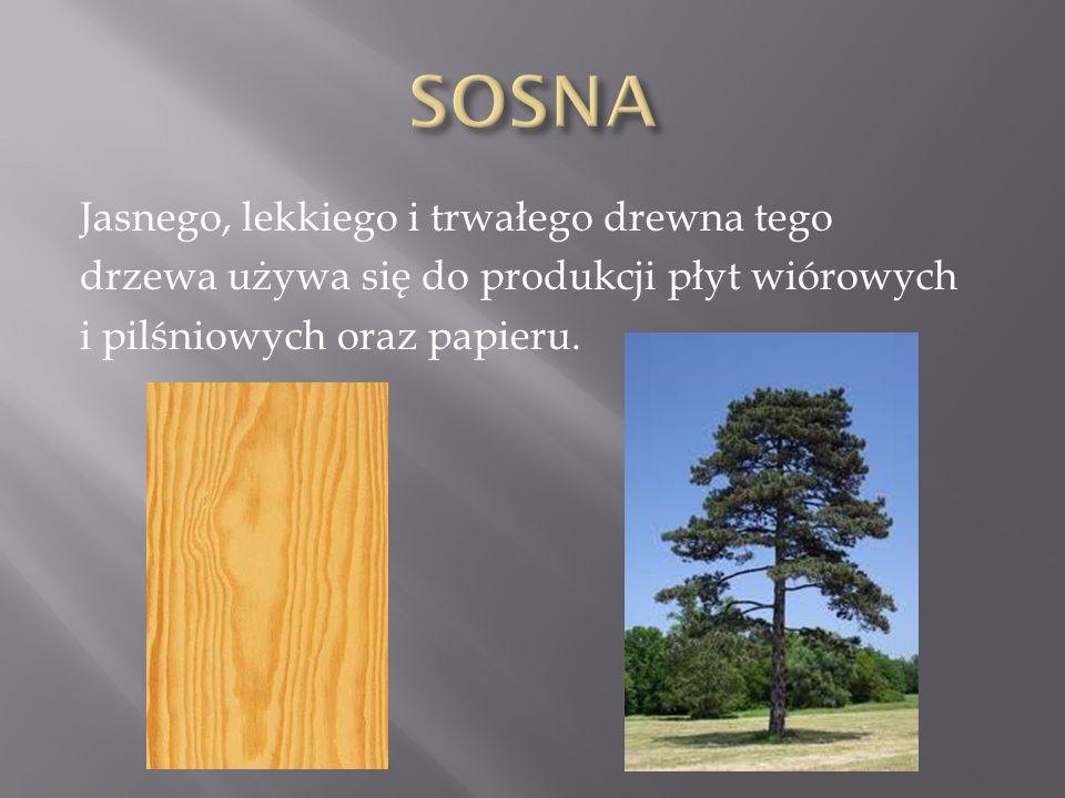 SOSNA Jasnego, lekkiego i trwałego drewna tego drzewa używa się do produkcji płyt wiórowych i pilśniowych oraz papieru.