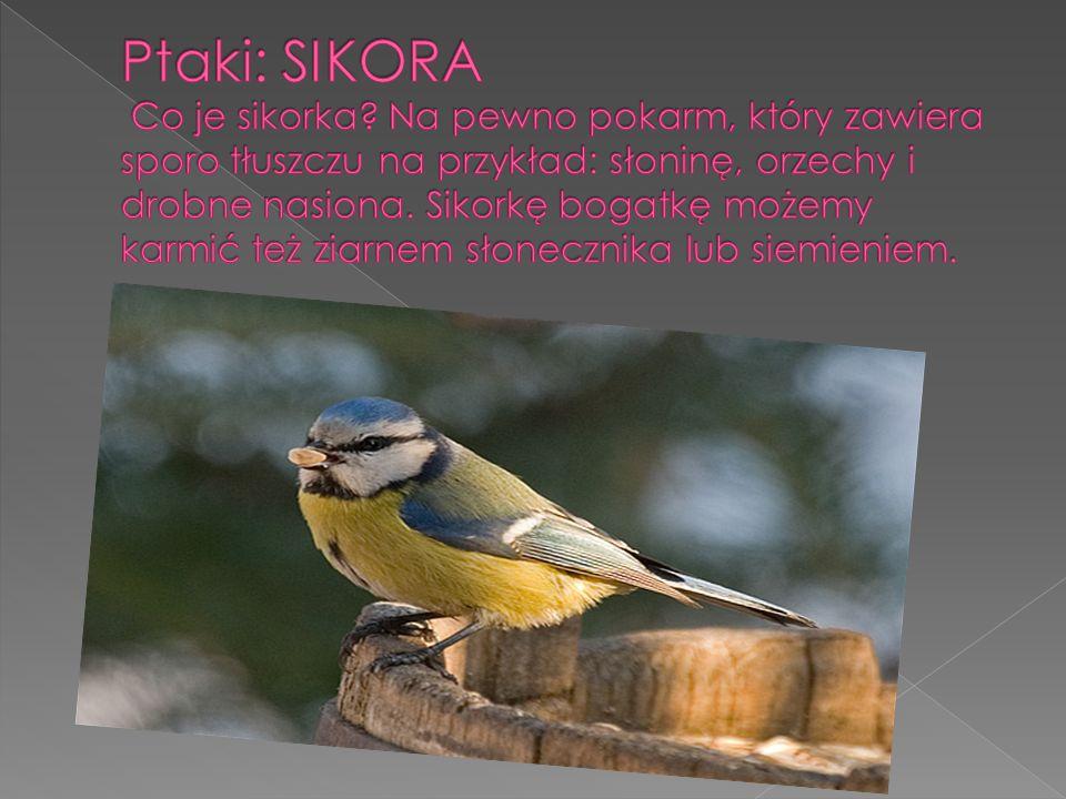 Ptaki: SIKORA Co je sikorka